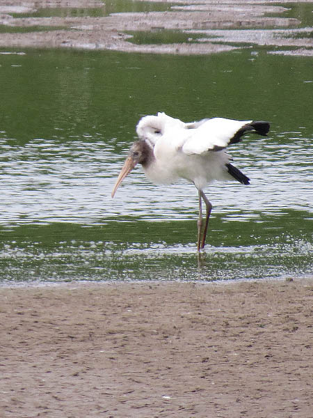 A lone juvenile Wood Stork inside the Dallas city limits.
