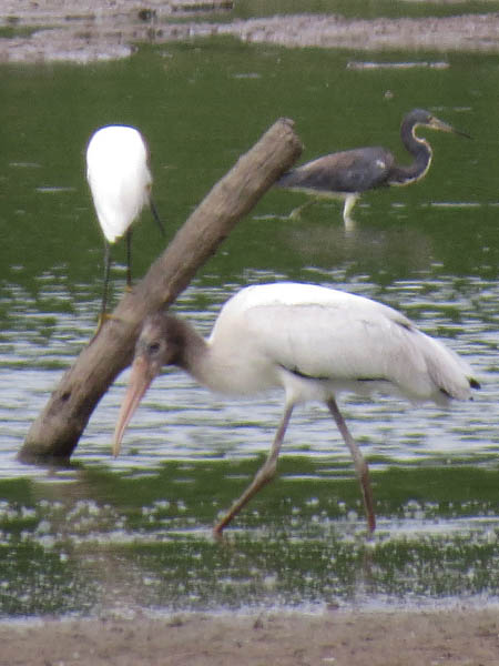 A Wood Stork with a Snowy Egret and a Tricolored Heron.