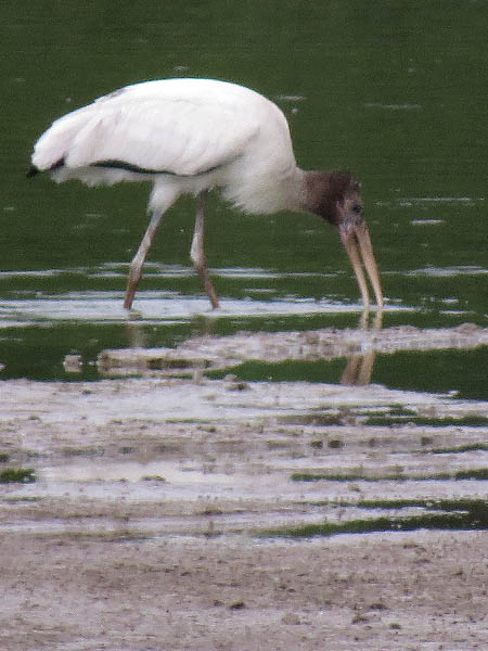 A rarely seen Wood Stork.