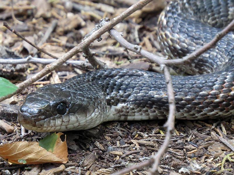 A Texas Rat Snake.
