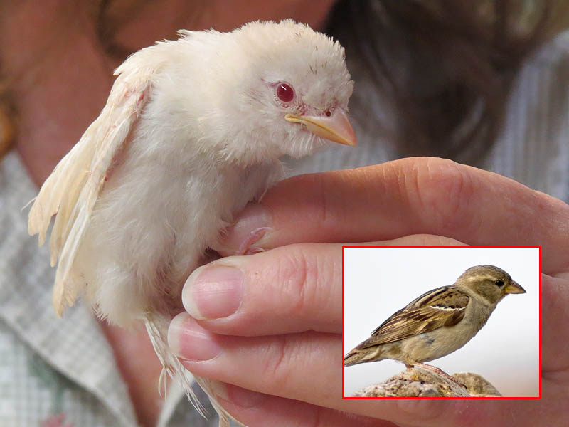 A rare albino House Sparrow.  See the inset for an example of the usual coloration.