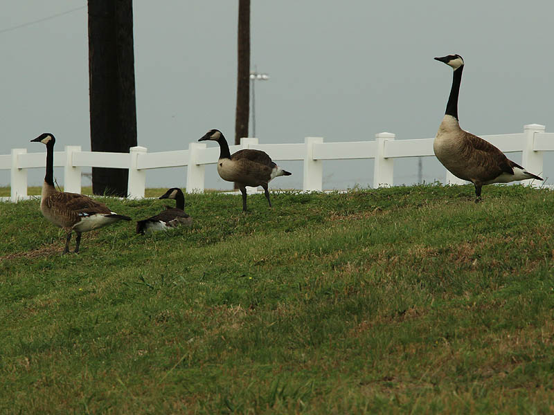 A Giant Canada Goose, his mate, and their two offspring.