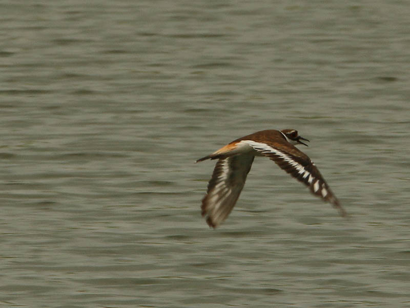 A Killdeer zooming in just over the surface of the water.