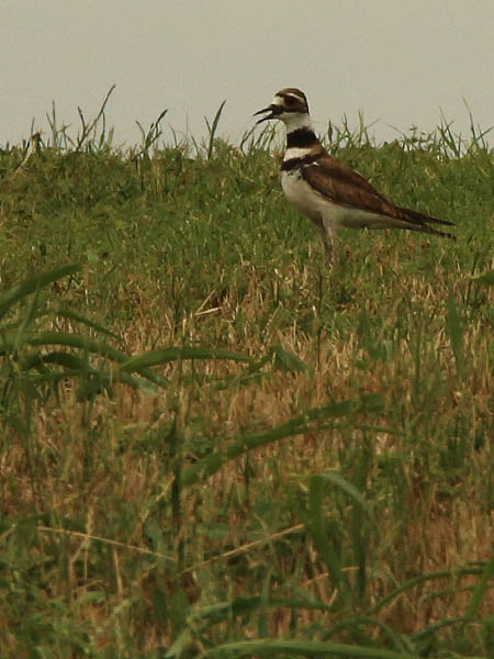 This Killdeer is calling out in order to attract attention away from its nest.