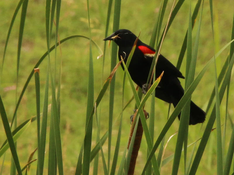 A male Red-winged Blackbird with an insect in its beak.