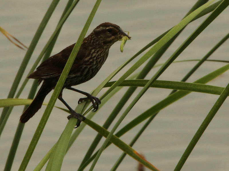 A female Red-winged Blackbird bringing food for her fledglings.