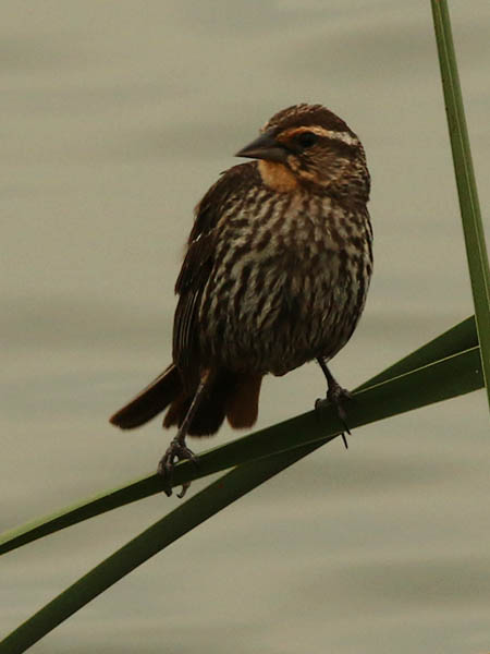 A slightly older Red-winged Blackbird Fledgling.