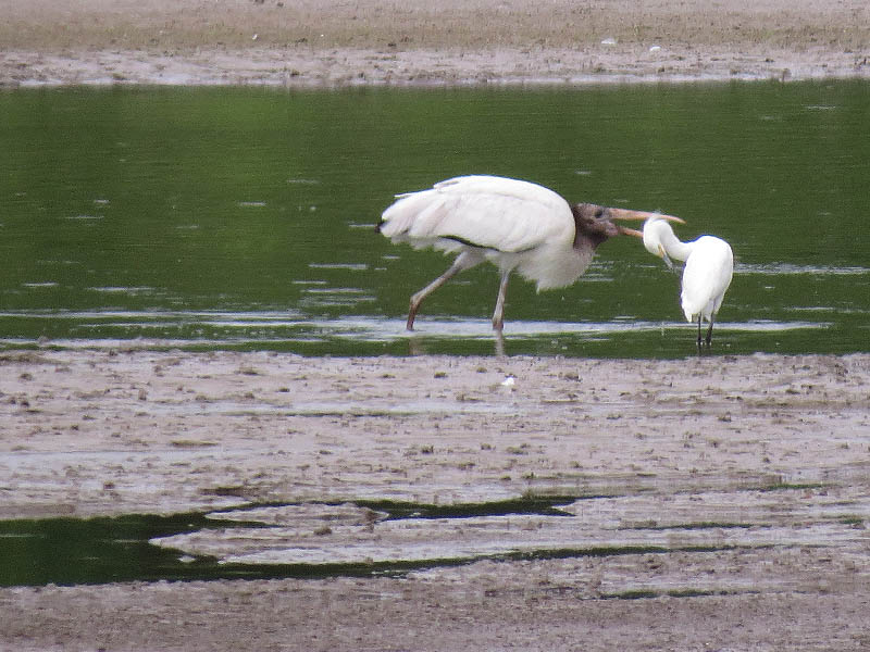A Wood Stork eating a Snowy Egret.