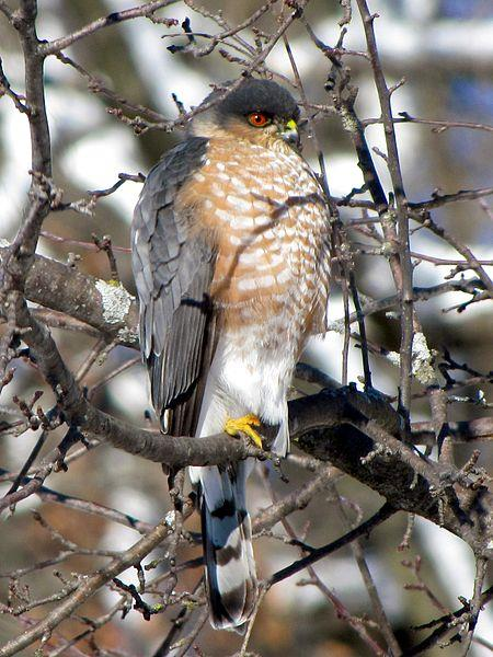 Sharp-shinned Hawk - Photograph courtesy Wikimedia Commons.