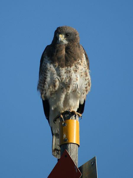 Swainson's Hawk.  Photograph courtesy Wikimedia Commons.