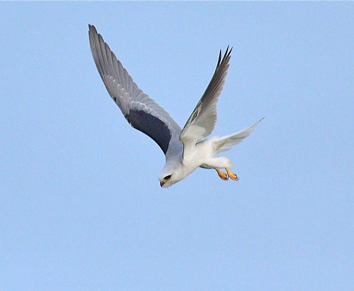 A White-tailed Kite in flight.  Photograph courtesy of Wikimedia Commons.