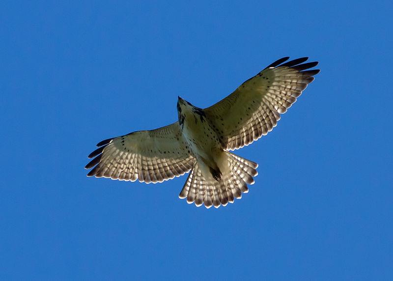A Broad-winged Hawk at Altitude.