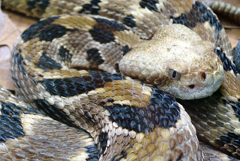 Timber Rattlesnake - Picture courtesy Wikimedia