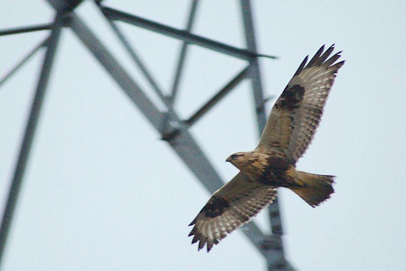 Rough-legged Hawk - Photograph courtesy Wikimedia Commons
