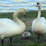 Mute Swan - Nest 2014 Update 16