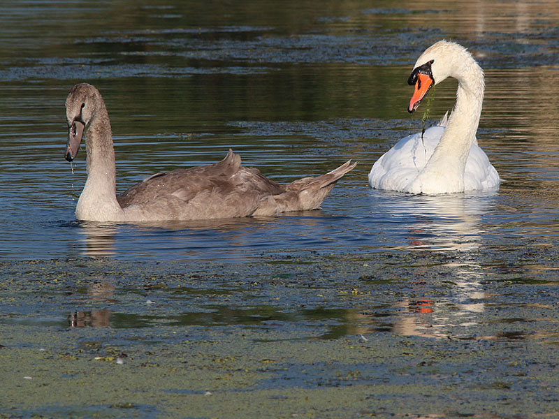 The Mute Swan cygnet today.