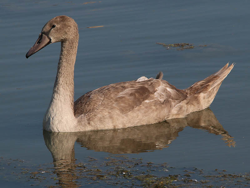 The Mute Swan cygnet at 14 weeks of age.