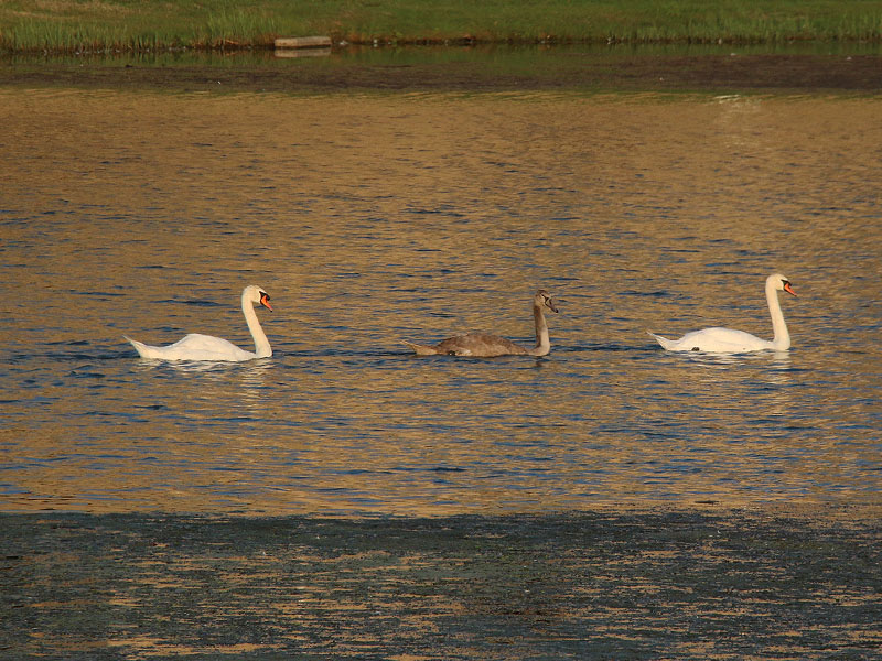 The Josey Ranch Lake swan family.