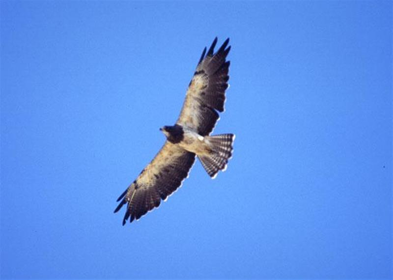 Swainson's Hawk in flight.  Photograph courtesy Wikimedia Commons.