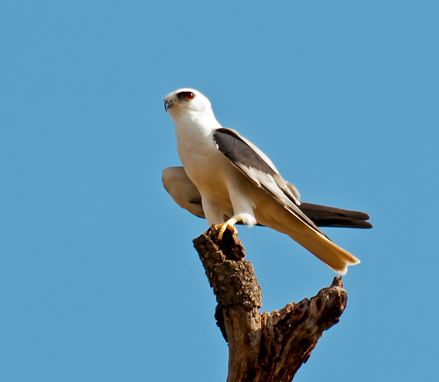 White-tailed Kite - Photograph courtesy of Wikimedia Commons.