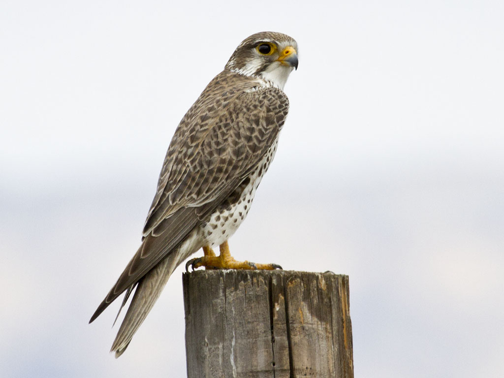 what other birds do a peregrine falcon eat