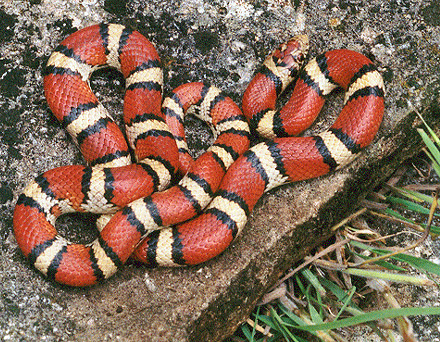 Milk snake - Picture courtesy Wikimedia Commons.