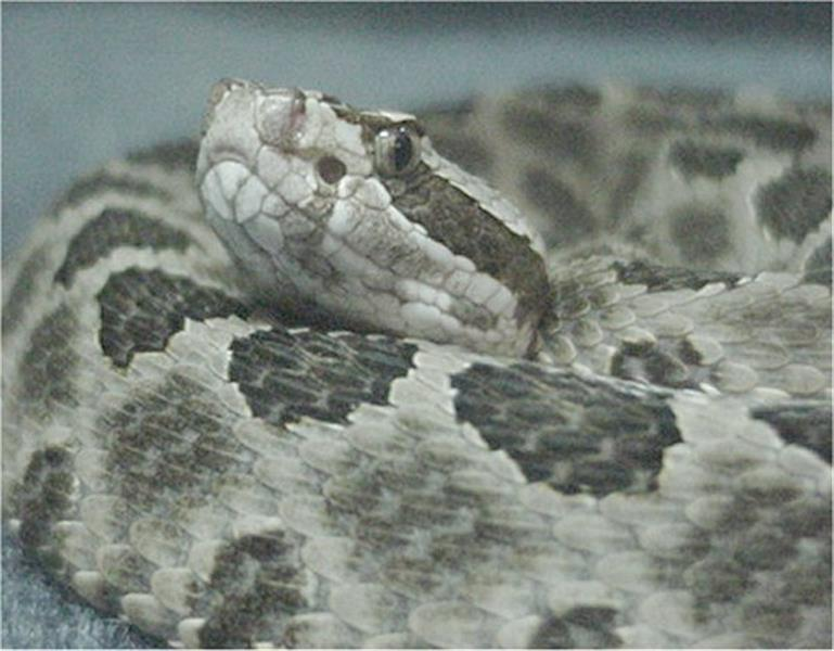 Western Massasauga - Picture courtesy Wikimedia Commons.