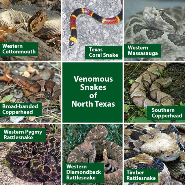 Venomous Snakes of North Texas