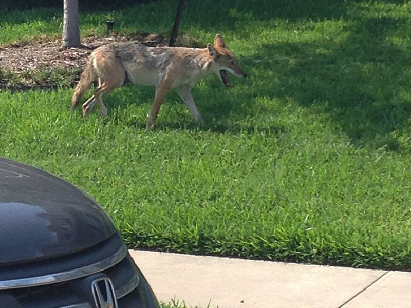 The Coyote was boldly making his way through a residential neighborhood at midmorning.