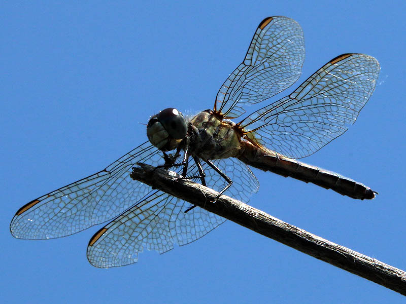 A female Blue Dasher.