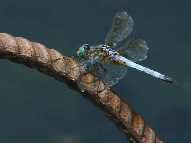 A male Blue Dasher