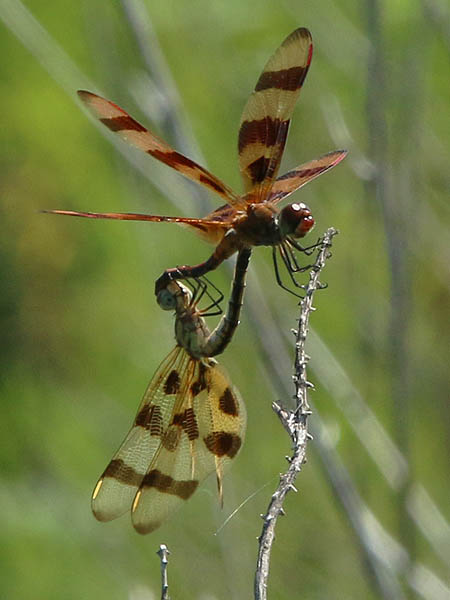 Mating Halloween Pennants.  Male above and female below.