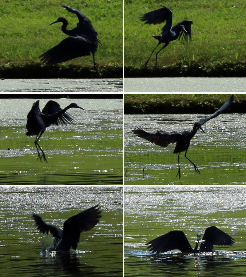 A little Blue Heron catching a fish.
