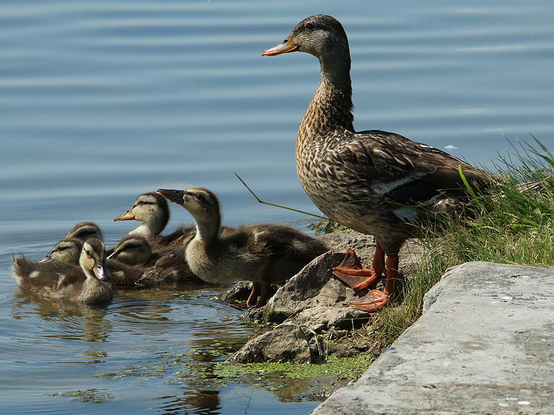 A female Mallard and her offspring.