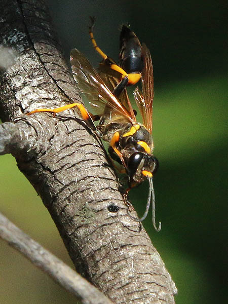 The hunting wasp wandered widely over the tree branches.