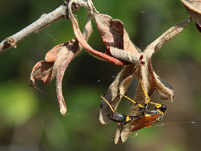 Mud Daubers stock their nests with immobilized spiders for their larvae to feed on.