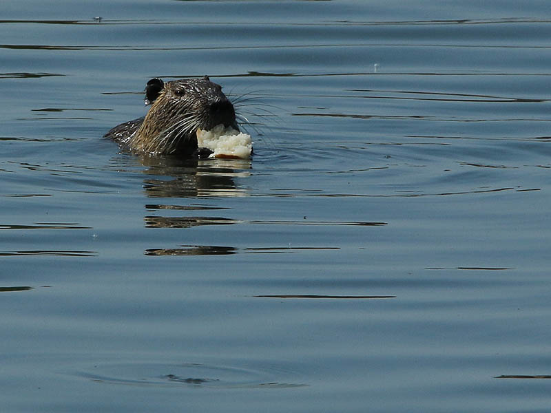 A Nutria feeding on a large piece of bread.