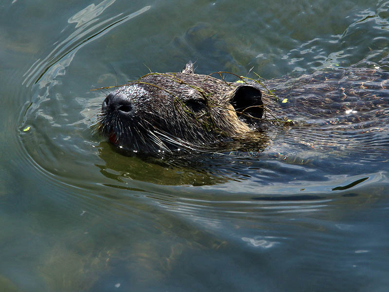 A closeup of a Nutria swimming through clear water.