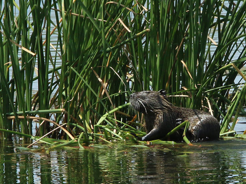 Feeding on cattail reeds.