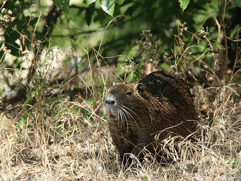 This Nutria surprised me when he emerged from the woods.