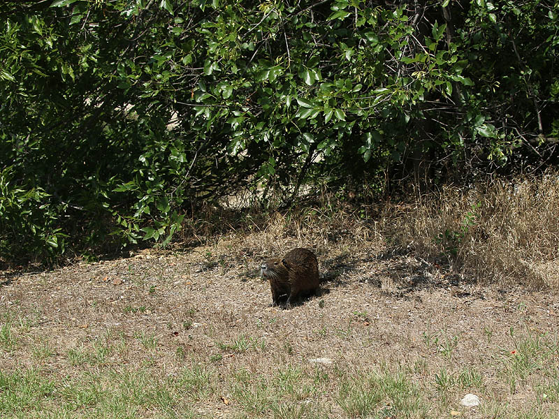 This was a slightly unexpected place for a Nutria observation.