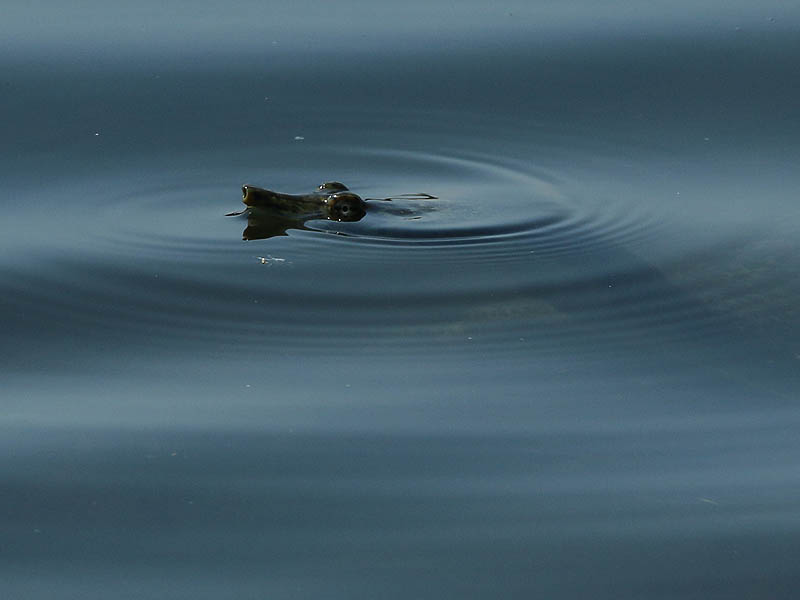 A Spiny Softshell Turtle Having a quick look around.