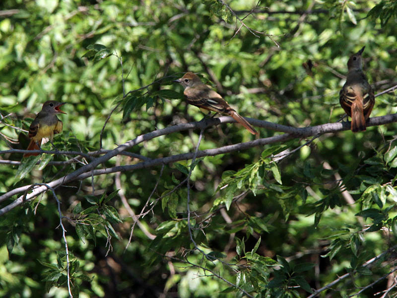 Three fledgling Great Crested Flycatchers.