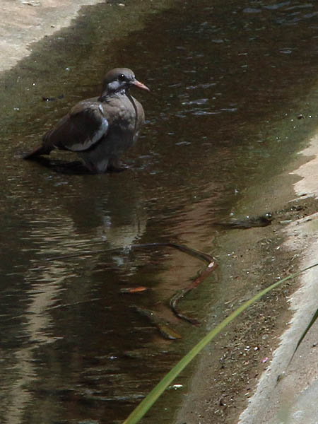A White-winged Dove bathing in a concrete culvert.