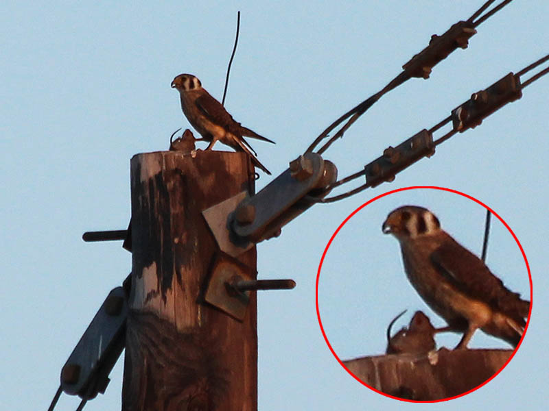 Akestrel with a recently captured mouse.