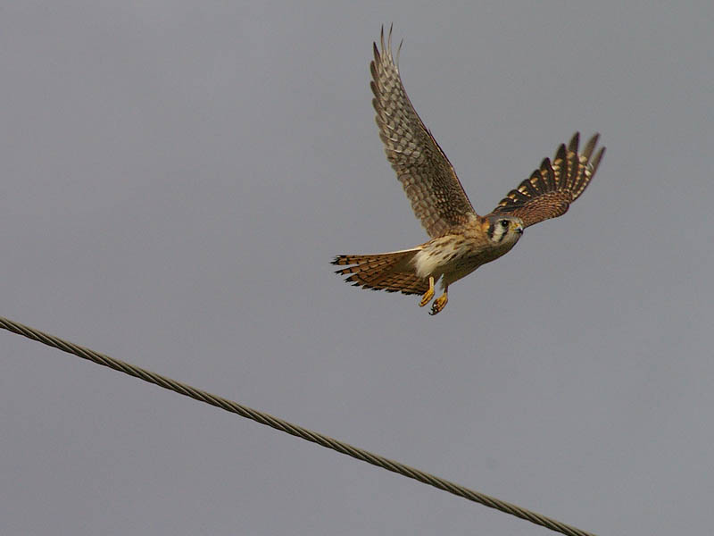 A female American Kestrel taking flight.