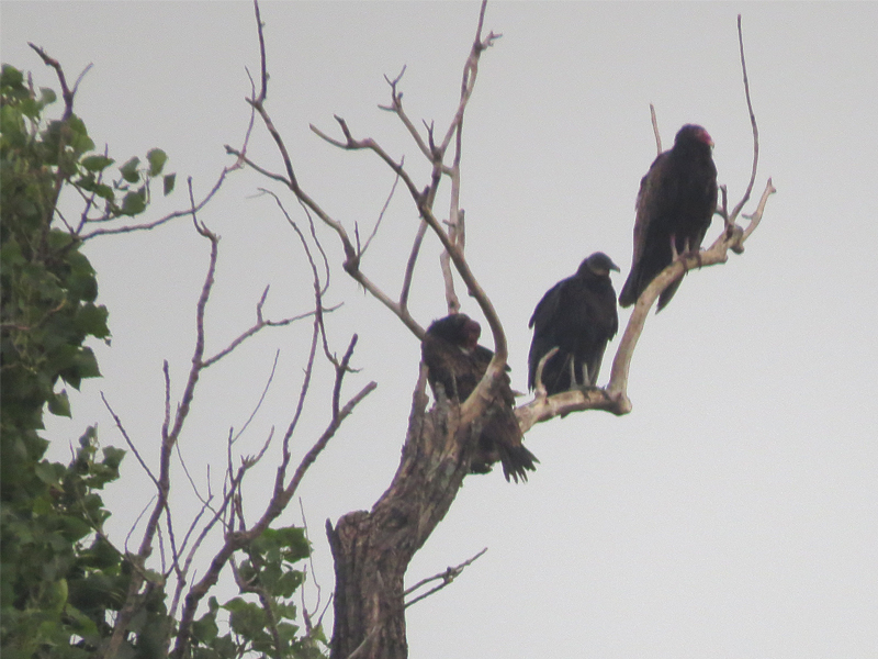 Two Turkey Vultures and one Black Vulture surveying the floodplain.