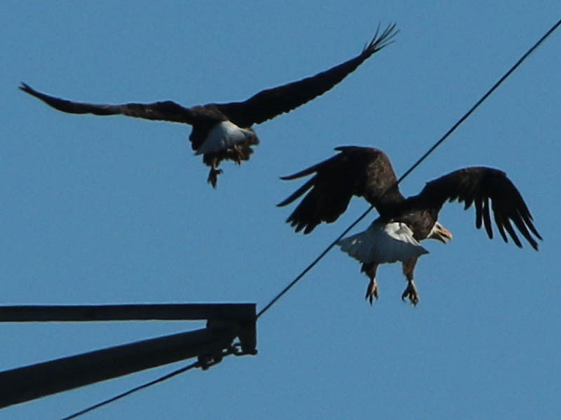 A mated pair of Bald Eagles.