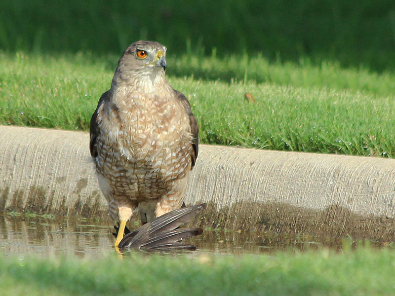 A Cooper's Hawk attempting to drown a recently captured European Starling in a small roadside puddle.