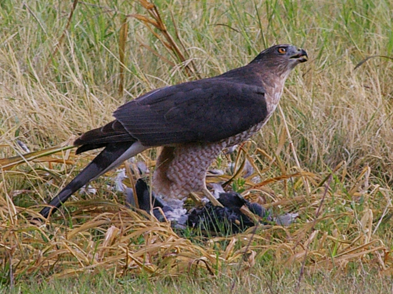 A big female Cooper's Hawk feeding on a feral pigeon.